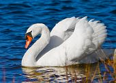 Beautiful Pure White Swan Gracefully Swims On Lake With Out Of Focus Reeds And Grass In Foreground. poster