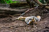 Closeup Of A Grey Wold Sleeping On The Ground In The Forest, Carnivorous Animal Specie The Woodlands poster
