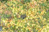 A Leopard, Panthera Pardus, Hiding Behind Mopani Bushes. Whiskers And Teeth Are Visible poster