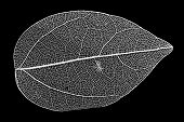 A decorative skeleton leaf on black background