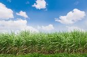 Green Sugarcane Plantation With Blue Sky And White Cloud. Sugarcane Trees Growing During The Rainy S poster