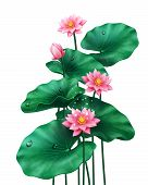 Isolated Lotus Leaves With Flowers And Bud On White. Pink Blossom Of China Or Indian Plant, Egyptian poster
