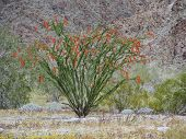 Blooming Ocotillo (Fouquieria splendens) in the Cottonwood mountains