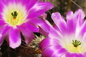 Echinocereus Cacti Flowers
