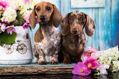 dachshund puppy brown tan marble color and piebald poster
