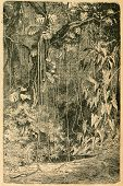 Philodendrons in subtropical forest - old illustration by unknown artist from Botanika Szkolna na Klasy Nizsze, author Jozef Rostafinski, published by W.L. Anczyc, Krakow and Warsaw, 1911