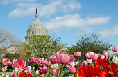 Tulips in front of the Capitol building in spring, Washington DC