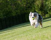 Blue Merle Tri-Color Australian Shepherd Sprinting