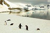 Gentoo Penguines In Front Of Lake In Antarctica