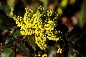 Yellow holly flowers