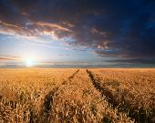Stunning Wheatfield Landscape Summer Sunset