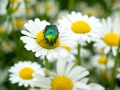 beatle on a ox-eye daisy flower