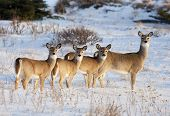 image of deer family  - White Tail Deer in early evening light in the Cypress Hills Alberta Canada - JPG