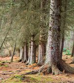 Pine trees seen at low level