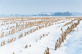 Rows Of Maize Stubbles In Snow