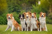 stock photo of collie  - group of five happy dogs border collie sitting on the grass in summer - JPG