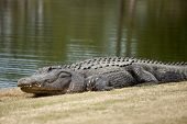 wild alligator sunning on golf course