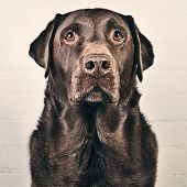Handsome Chocolate Labrador against Wall