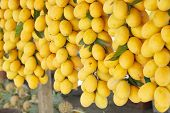 Sweet Yellow Marian Plum