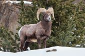 picture of ram  - Bighorn Ram standing proudly on a snowy mountain side - JPG