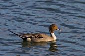 picture of pintail  - Northern Pintail duck sitting in the water - JPG
