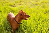 brown Dog mini pinscher in a green meadow outdoor
