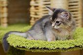 Cute Somali Kitten Indoor