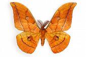 Japanese Silk Moth Antheraea yamamai