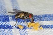 image of sucking  - House fly  - JPG