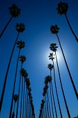 foto of washingtonia  - LA Los Angeles palm trees in a row typical California Washingtonia filifera - JPG
