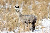 Alpaca In Snow