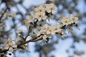 Blossoms Of A Cherry-plum Tree