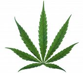 Marijuana Leaf Without Stipe