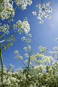Cow Parsley from low angle view towards blue sky