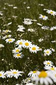 Field of Daisy Flowers with selective focus