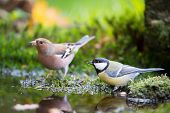 Blue tit and Common Chaffinch drinking water together