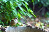 Sparrow sitting on old bucket