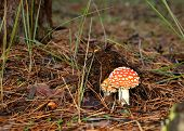 Fly Agaric In The Forest Horizontal