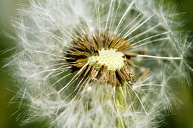foto of defloration  - Close up of a deflorate dandelion on blurred green background - JPG
