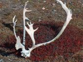 Caribou Rack on Tundra