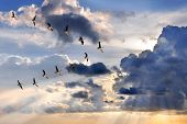 picture of geese flying  - Group of Canadian geese flying in V - JPG