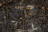 image of dead plant  - A dark and moody close up of a dead ivy plant clinging to an old bluestone wall - JPG