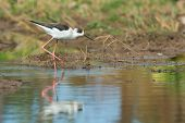 Black-winged Stilt Wading On The Shore