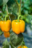 Yellow Sweet Pepper In Greenhouse
