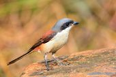 Burmese Shrike Bird