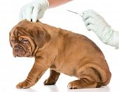 pic of dogue de bordeaux  - veterinary care  - JPG