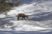 Puppy chamois, National Park, Aosta