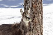 Chamois in the National Park, Aosta