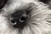 stock photo of extreme close-up  - Parti Color Miniature Schnauzer dog nose close-up. Extreme shallow depth of field with selective focus on puppies nose.