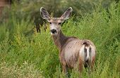stock photo of mule  - A Mule Deer with ears perked up keeps an eye on the photographer taking its picture in a New Mexico wildlife area - JPG